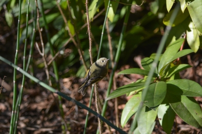 01-23-14_b_ruby-crowned_kinglet_j