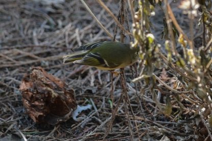 01-23-14_b_ruby-crowned_kinglet_n