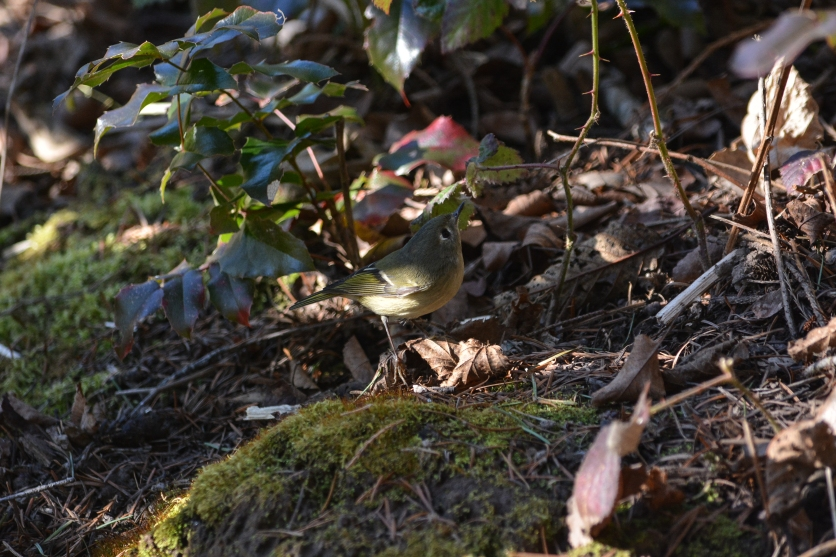 01-23-14_ruby-crowned_kinglet_3