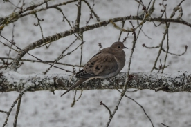 02-06-14_b_mourning_dove_2