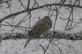 02-06-14_b_mourning_dove_3
