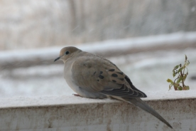 02-06-14_b_mourning_dove_5
