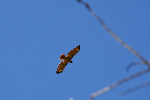 03-11-14_b_red-tailed_Hawk