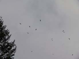 03-28-13_b_kettle_turkey_vultures_d