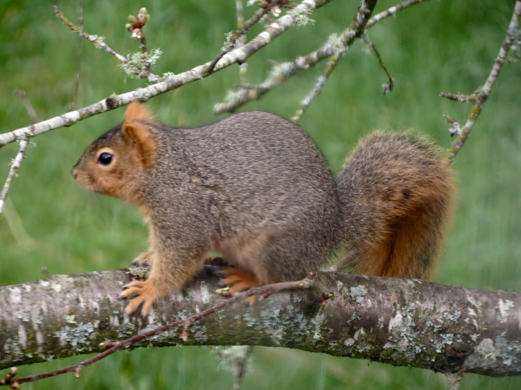 03-28-13_mam_eastern_fox_squirrel_c