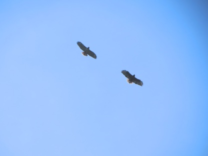 03-30-13_b_redtailed_hawk_b copy