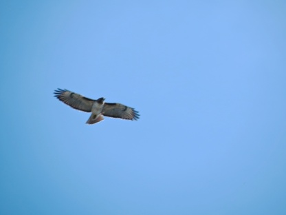 03-30-13_b_redtailed_hawk_c