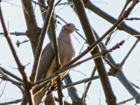 03-31-13_b_mourning_dove_1