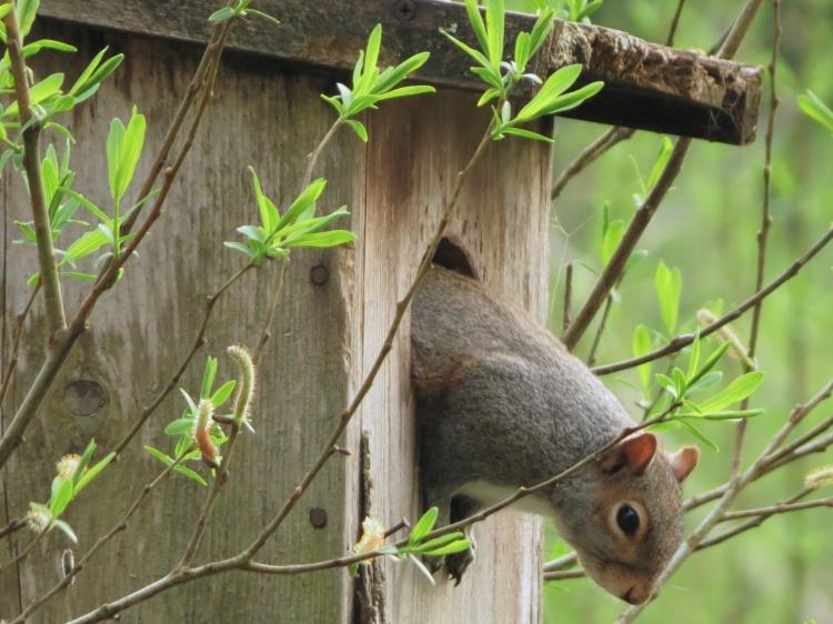 04-03-13-mam_eastern_gray_squirrel_a