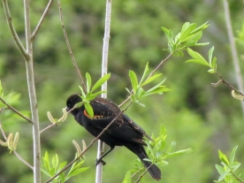 04-20-13_b_red-winged_blackbird_b