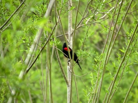 04-20-13_b_red-winged_blackbird_c
