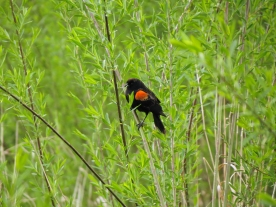 04-20-13_b_red-winged_blackbird_d