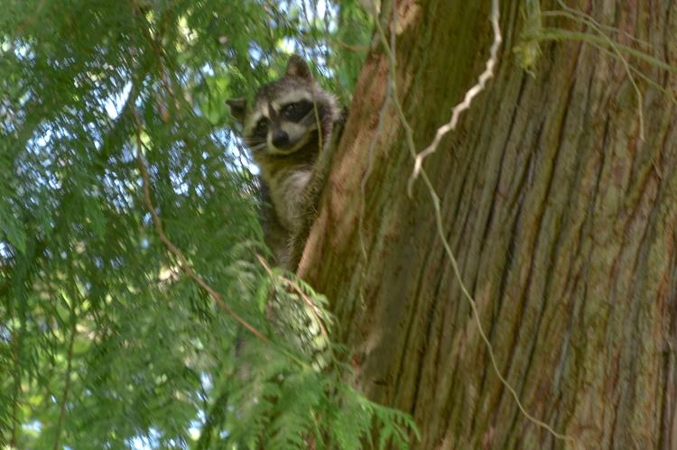 05-12-2014_m_raccoon_14