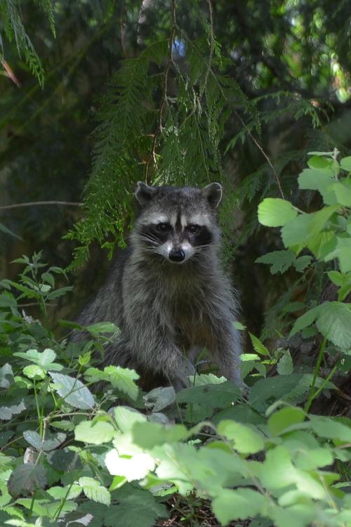 05-12-2014_m_raccoon_3
