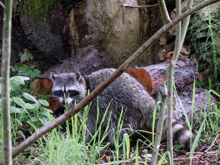 05-17-13_mam_raccoon_f