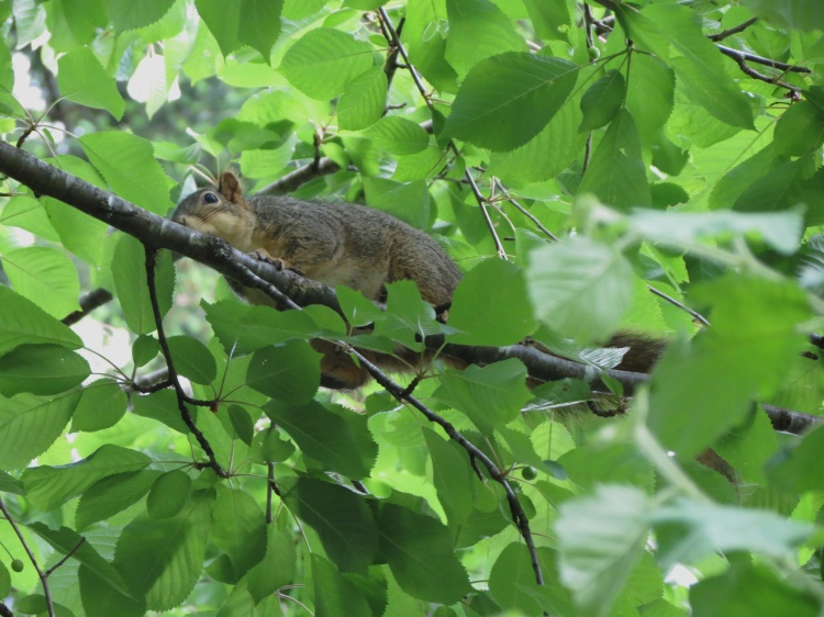 05-19-13_mam_eastern_gray_squirrel_a