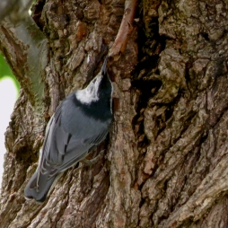 05-25-13_b_white-breasted_nuthatch_c