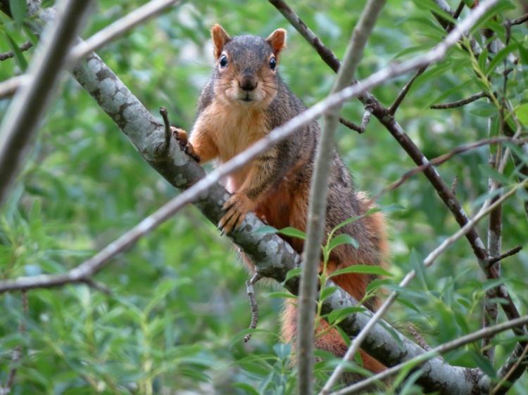 05-30-13_mam_easter_fox_squirrel_a