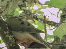 06-05-13_b_mourning_dove_1