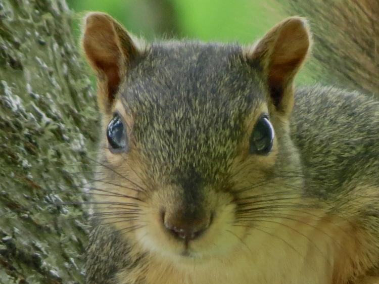 06-07-13_mam_eastern_fox_squirrel_c