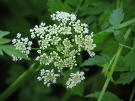 06-08-13_wf_Pacific_Water_Parsley_c