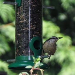 06-16-13_b_white-breasted_nuthatch_a