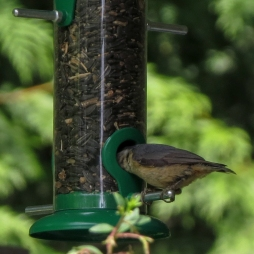 06-16-13_b_white-breasted_nuthatch_b