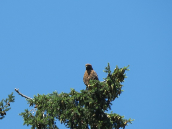 07-18-13_b_red-tailed_hawk_b