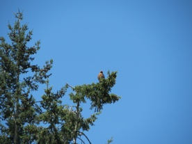 07-18-13_b_red-tailed_hawk_c