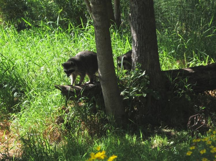 07-23-13_mam_common_raccoon_a