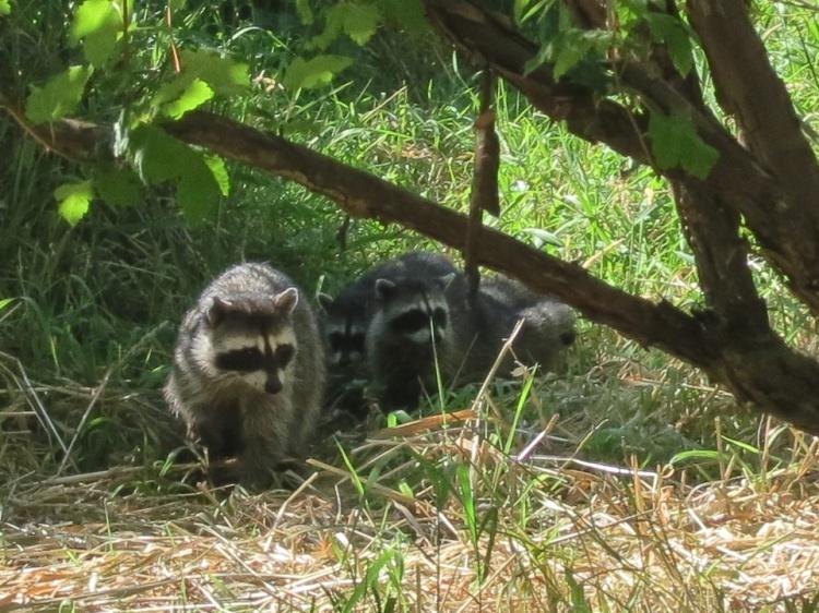 07-23-13_mam_common_raccoon_d