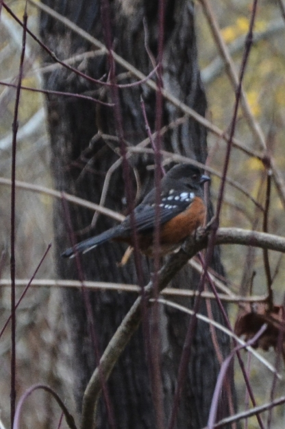 11-19-13_b_spotted_towhee_b