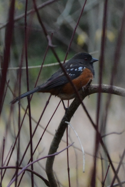 11-19-13_b_spotted_towhee_c