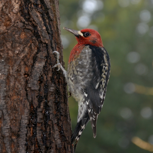 11-25-13_b_red-breasted_sapsucker_i