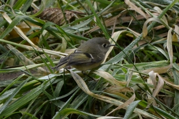 12-09-13_b_ruby_crowned_kinglet_c