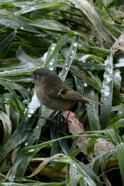 12-09-13_b_ruby_crowned_kinglet_g