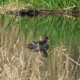 20130304-03-04-13_b_hooded_merganser_b