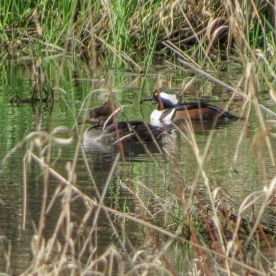 20130304-03-04-13_b_hooded_merganser_d