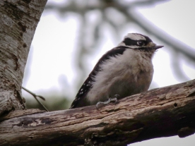 20130320-03-20-13_b_downy_woodpecker_a