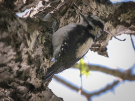 20130321-03-20-13_b_downy_woodpecker_b
