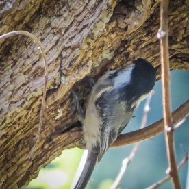 20130331-03-31-13_b_black-capped_chickadee_b