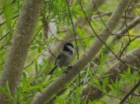 20130415-04-15-13_b_black-capped_chickadee_b