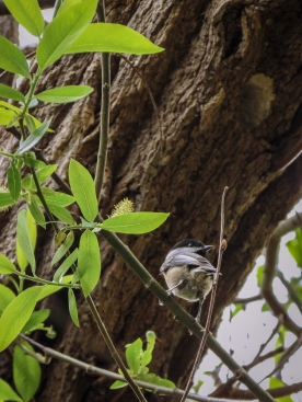 20130415-04-15-13_b_black-capped_chickadee_d