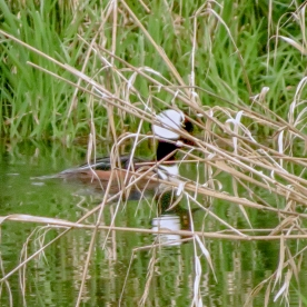 20130415-04-15-13_b_hooded_merganser_a