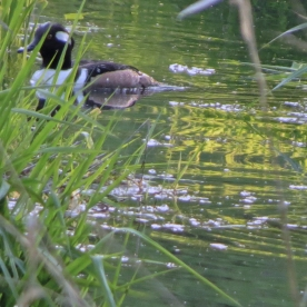 20130422-04-22-13_b_hooded_merganser_a