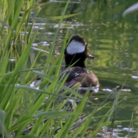 20130422-04-22-13_b_hooded_merganser_b