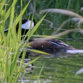 20130422-04-22-13_b_hooded_merganser_d