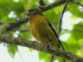 20130525-05-25-13_b_evening_grosbeak_male_a