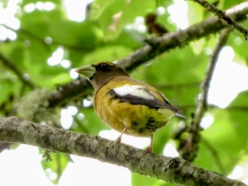 20130525-05-25-13_b_evening_grosbeak_male_e