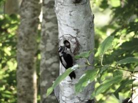 20130607-06-07-13_b_downy_woodpecker_b